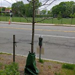 Public Trees at Brookline Ave Opp Aspinwall Ave